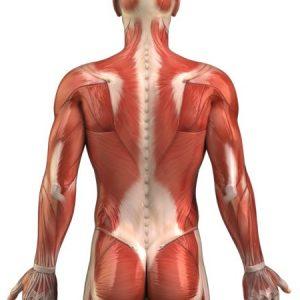 Мышцы в разрезе