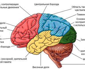 Сколько весит мозг человека?